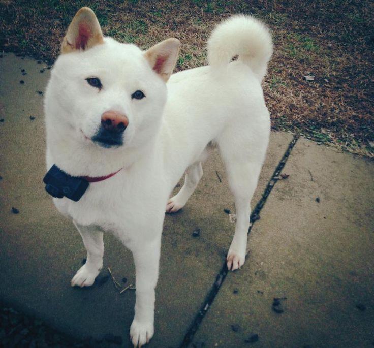 This is my cream Shiba Inu! - Imgur