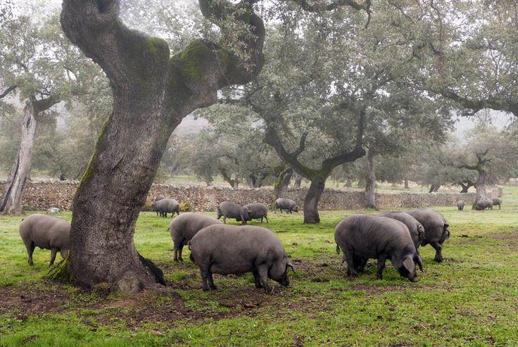 Cerdo ibérico en la Sierra de Huelva