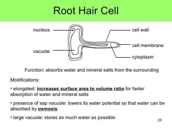 image result for root hair cells labelled diagram and on cell wall function id=32954