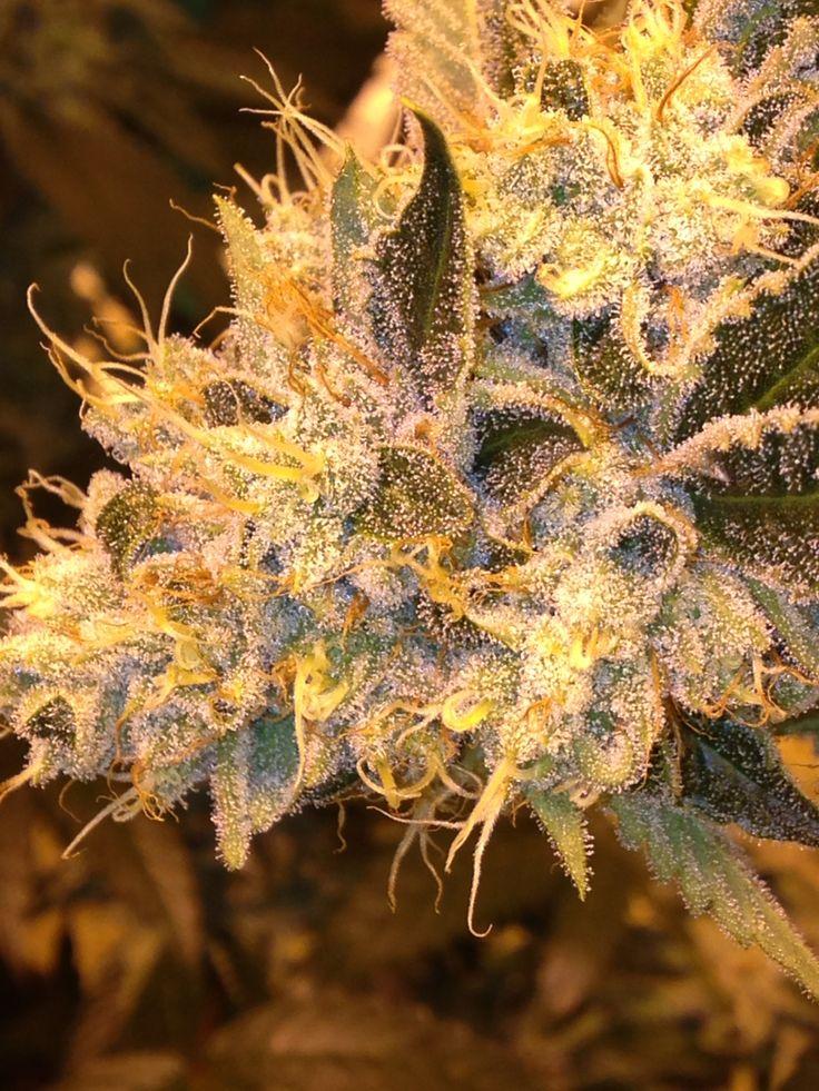 Thai Kush Medical Marijuana   Mr Natural Inc   Pinterest ...