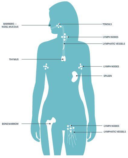 immune system unlabeled - photo #10