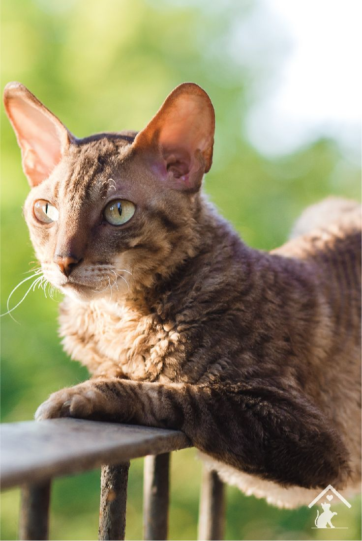 7 best Cornish Rex Cat Breed images on Pinterest