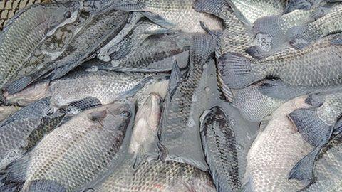 Criação de Peixes - Como Implantar uma Piscicultura