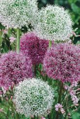 Alliumsare a very diverse group, from small alpine forms to tall, large flowered types. Ideal for inter-planting with perennials or grasses. Alliums make excellent cut flowers & can be dried successfully for long lasting arrangements.