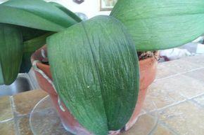 Leszárad az orchideád levele és virága? Íme a megoldás a problémára!