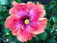 #hibiscus #rosa #sinensis - http://www.growplants.org/growing/hibiscus-rosa-sinensis learn how 2 #grow