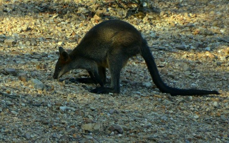 After drinking, a shy swamp wallaby ascends the wall of the dam, heading off into the shelter of the bush.