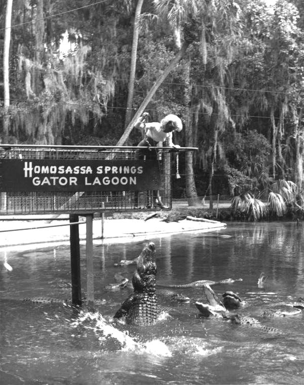 Florida Memory - Alligators leap for their meal - Homosassa Springs, Florida