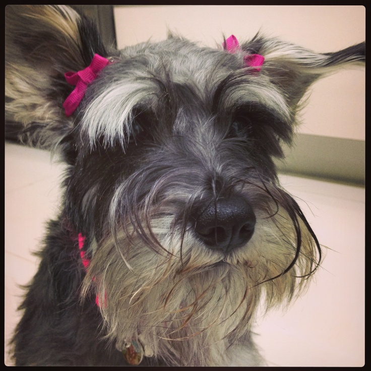 Very cute litttle Schnauzer,,,,,even without the bows you can tell ...