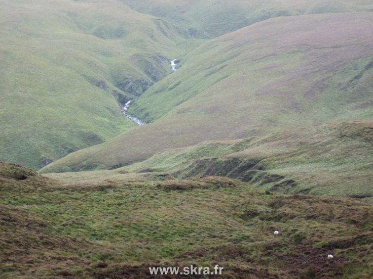 Mouton en fuite dans les dunes du Connemara !