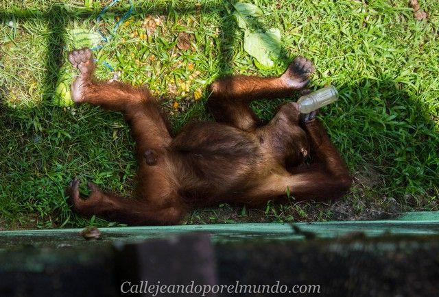 orangutanes centro matang kuching borneo
