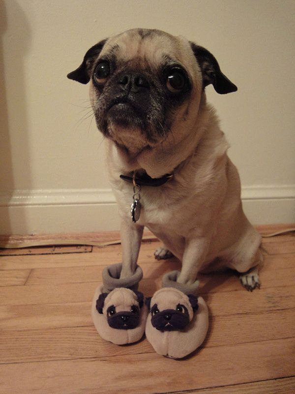 A pug wearing pug slippers