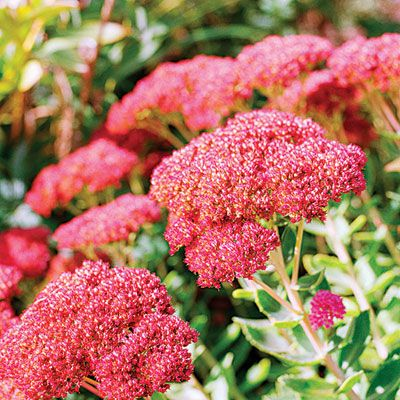 The 24 best sedum images on pinterest succulents advice and a close up of flowering pink sedum joy sedum autumn joy dense flower clusters start out blush pink then age to rust as the weather cools mightylinksfo