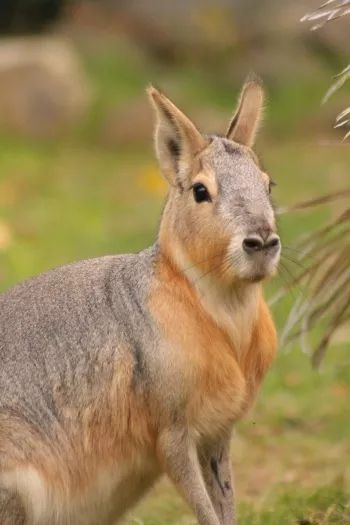 Animal lovers from all over the world will agree that they like it when they see the Patagonian mara, also called a Patagonian Cavy. This gorgeous rodent is nearly the most common furry friend to chinchillas and guinea pigs. These cute animals are the largest rodents on the planet, and grow up to two feet …