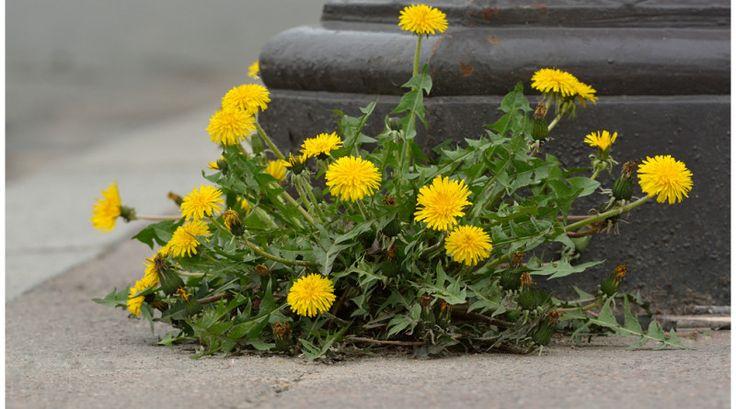 Der Löwenzahn hat fast alles zu bieten! Blätter für Salat und Tee, Blüten für leckeren Sirup und Wurzeln als Gemüse oder gar als Kaffee-Ersatz!