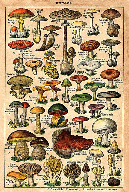 Vintage mushroom drawings by kjc_at_home, via Flickr