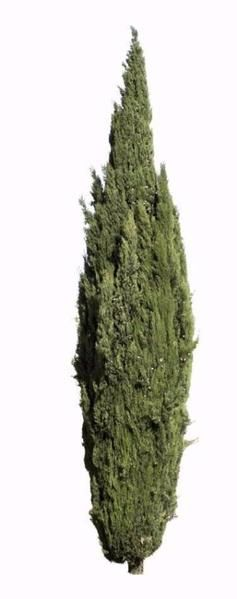 2284 x 5766 pixels PNG image. Cutout tree photo with transparent background. Cupressus sempervirens Mediterranean cypress, Italian cypress, tuscan cypress, penc