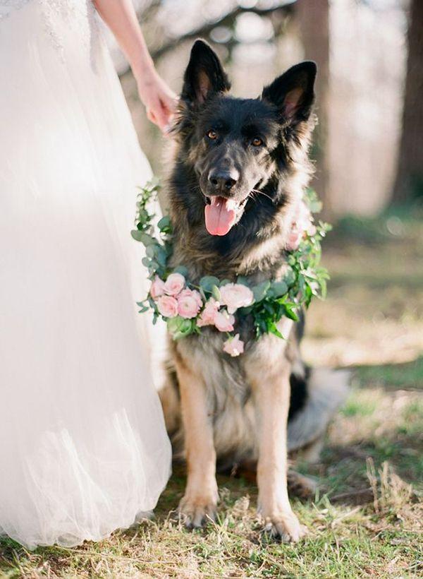 Amazing handsome wedding dog ring bearer! | http://www.weddingpartyapp.com/blog/2014/08/29/dogs-at-weddings-35-furry-friends/
