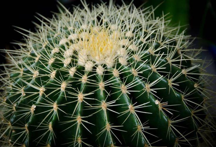 Kaktus (Cactus)
