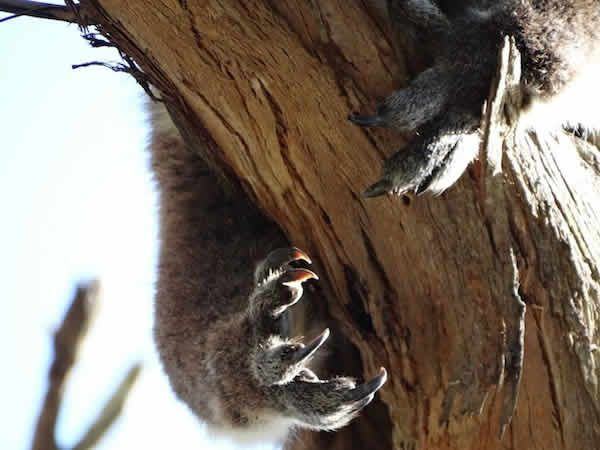 A wild #Koala in a tree, seen during the #GreatOceanRoad sunset Tour with Bunyip Tours.