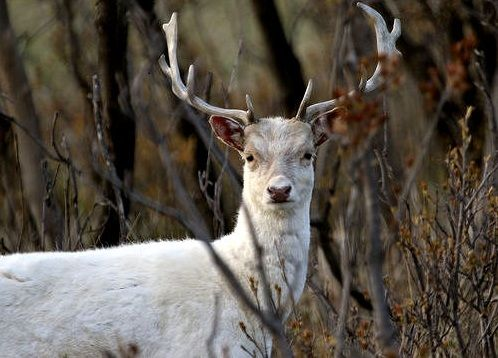 29 Best Ghost White Deer Images On Pinterest Deer Albino Deer
