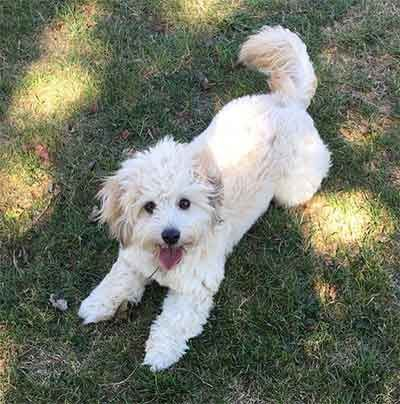 Is The Eskipoo The Ideal Cross That Breeders Hope For Dogs