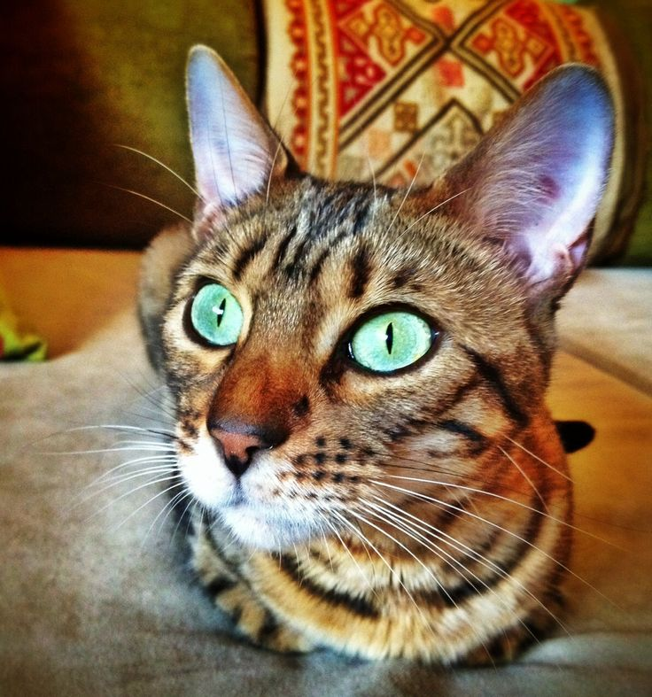 Bengal cat Green eyes, Jill G Rosenberg