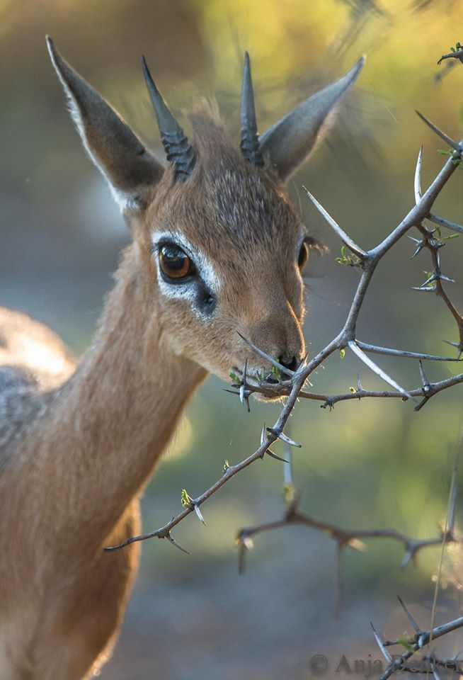 QUIZ: What animal am I?  #quiz #question #krugerpark #wildlife #africa  Credit: http://ow.ly/IAEb5