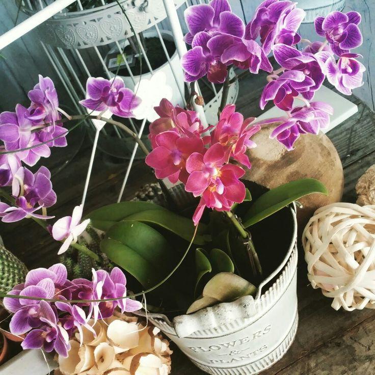 Orchidee nane