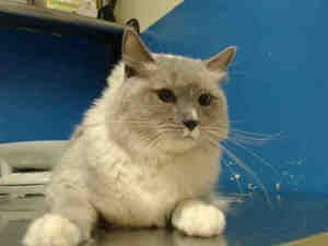 BANGELS is an adoptable Ragdoll Cat in Staten Island, NY