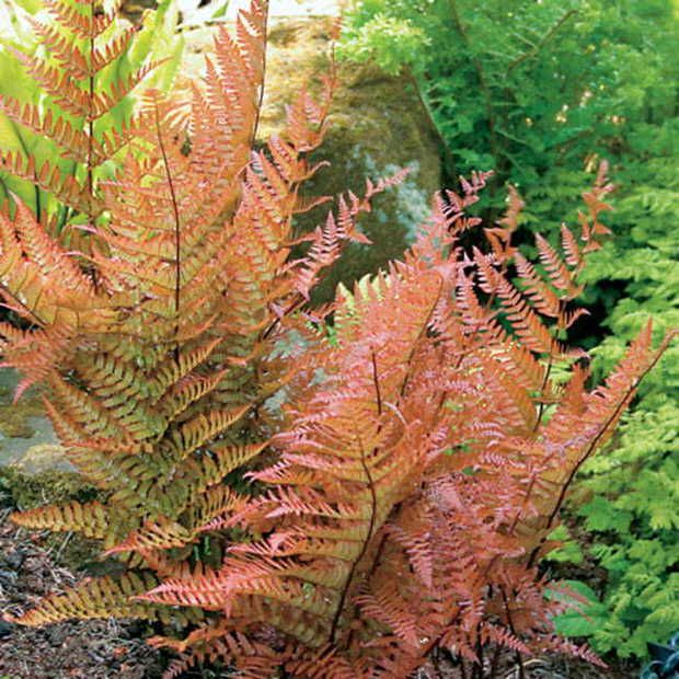 Autumn Fern ~ this variety of Autumn Fern (Brilliance) is freakin' cool. It is an evergreen fern with fronds 2 feet long, and changes color with the temperatures of the season! Coppery in spring, deep green in summer and fiery orange in fall, this plant thrives in even deep shade. It can be planted under trees, and once established after the first year, can get by on neglect. This may be the perfect shade plant!