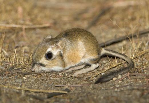 Stephen's Kangaroo Rat - indigenous to Southern CA, endangered