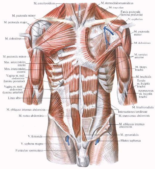 Abdominal muscles research