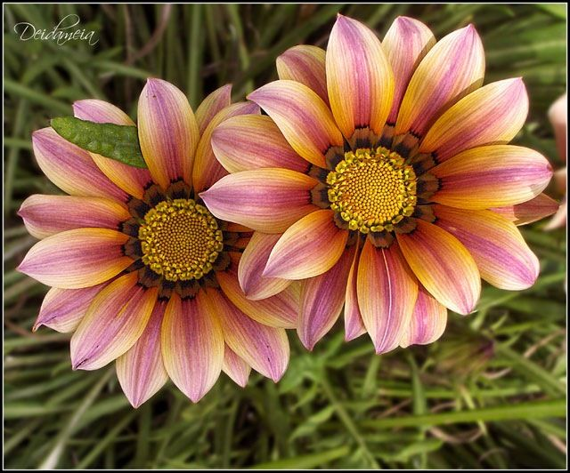 amazing: Pink Flower, Gardens Ideas, Color, Natural Pictures, Daisies, Pretty Flowers, Most Beautiful Flowers, Beautiful Flower Photography, Drawings Flower