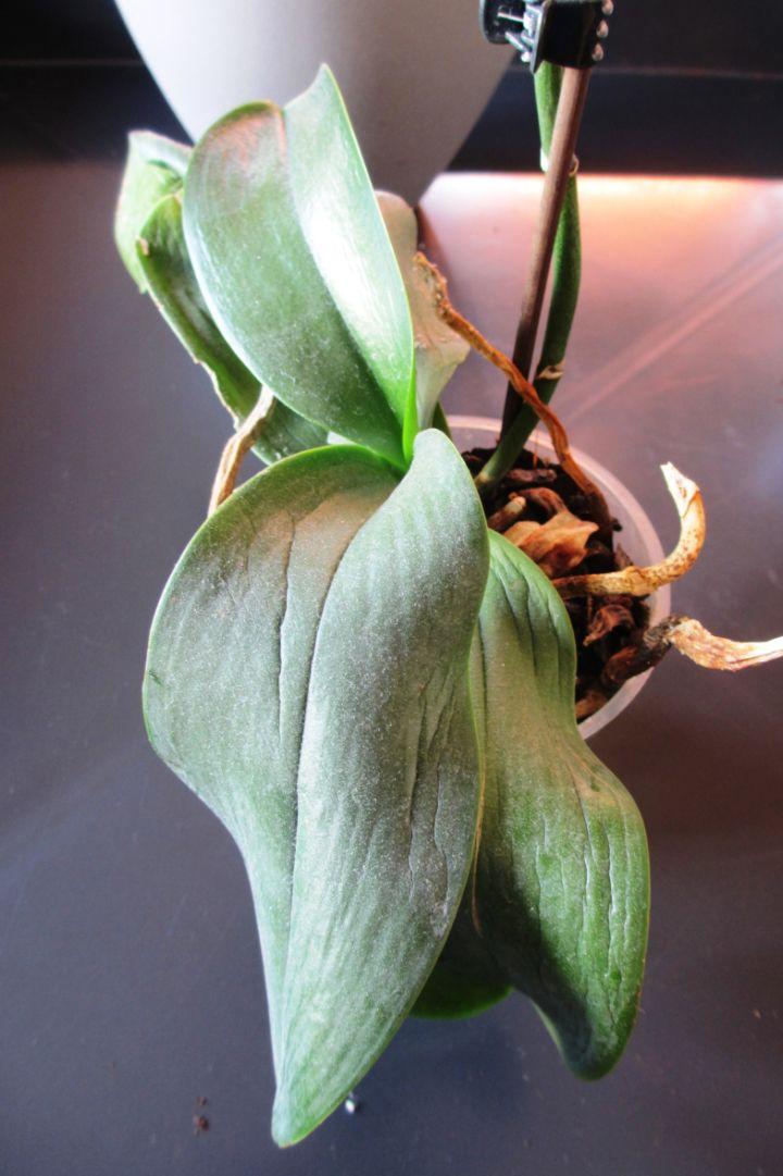 Orchidee Aux Feuilles Molles Et Ratatinees Rempotage Orchidee