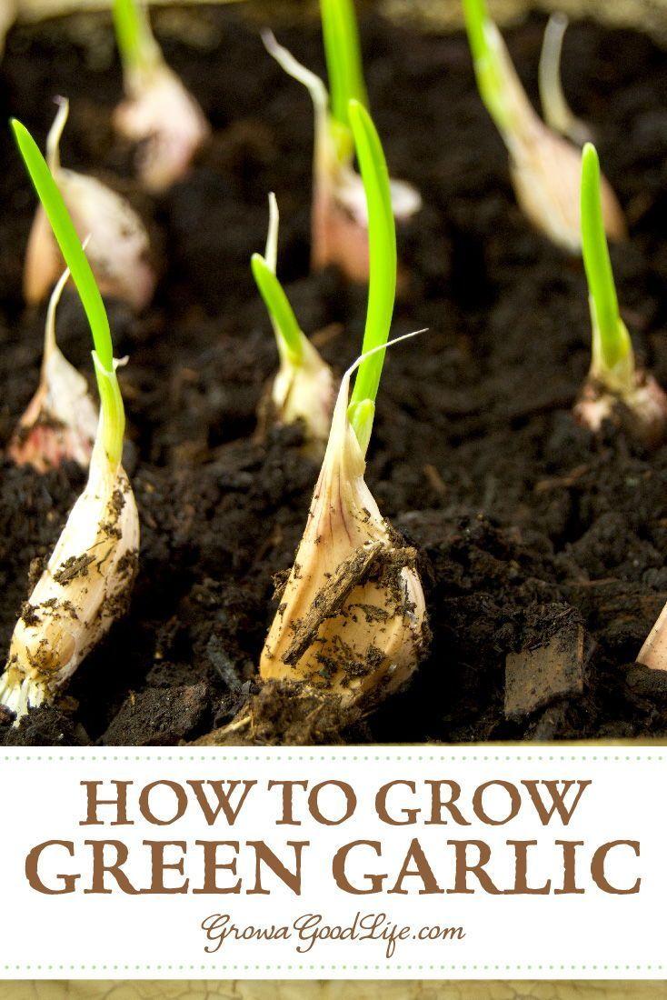 Planting Spring Garlic When To Plant Garlic Spring 400 x 300