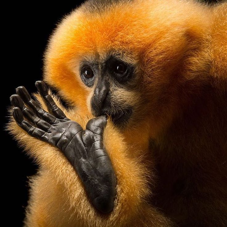 """A critically-endangered female northern white-cheeked gibbon named Polly at the Endangered Primate Rescue Center in Cuc Phuong National Park, Vietnam. She was a youngster, and instead of sucking her thumb, she actually sucked on her big toe during our photoshoot. Because they are hunted for meat, used in traditional """"medicines"""" and sold into the illegal pet trade, Northern white-cheeked gibbons' main predators are humans. Their forest habitats in China, Vietnam and Laos are steadily being…"""