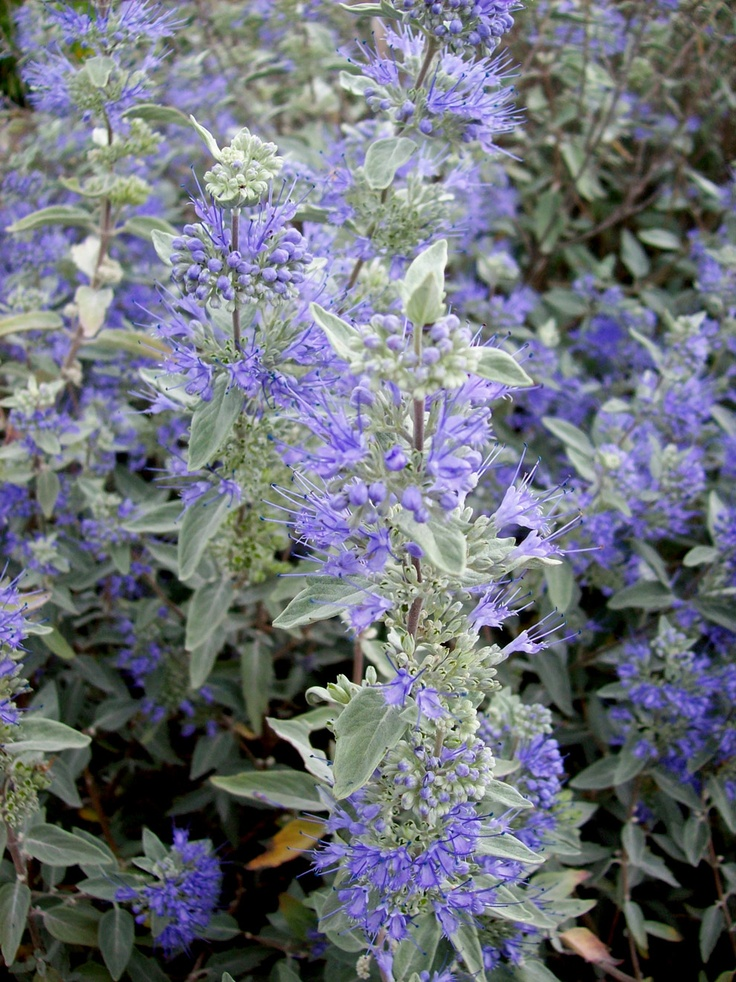 72 best images about caryopteris on pinterest sun blue for Blue flowering bush