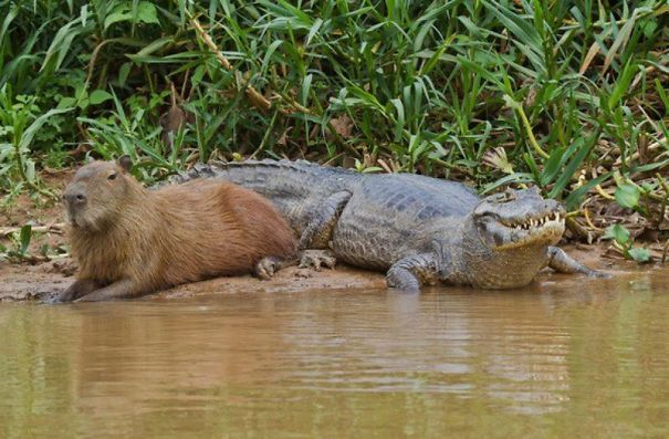 Capybara and Caiman