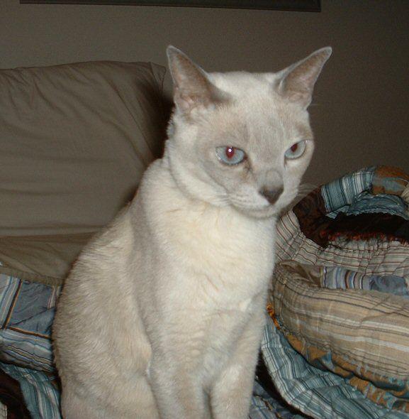 Platinum mink Tonkinese Cat