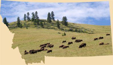 Montana Hunting Outfitters Bighorn Sheep Elk Buffalo Deer Guides