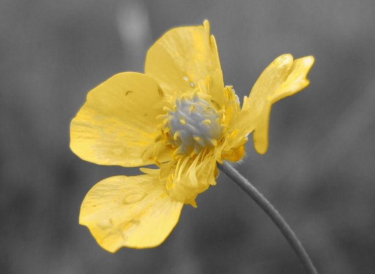 buttercup in the meadow on a rainy day #buttercup @PhotoLately pic.twitter.com/BL1EuJfxbc