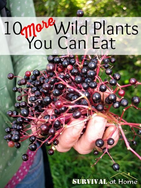 10 More Wild Plants You Can Eat (via Survival at Home)