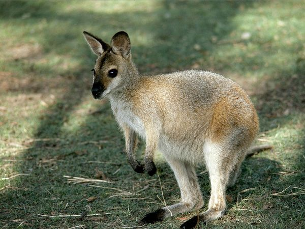 wallaby on the grass