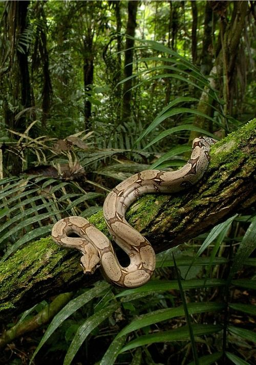 Boa Constrictor in the rainforest  Found on muiir.tumblr.com via Tumblr