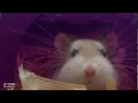 Robo Dwarf Hamster [HD]