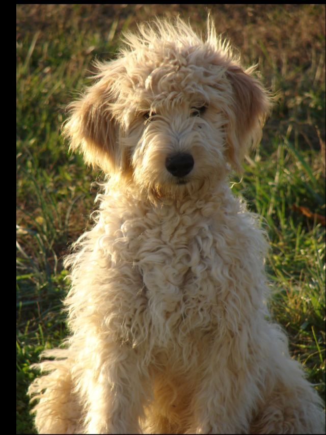 I need a goldendoodle baby!