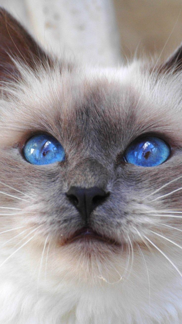 Blue eyed Siamese cat.