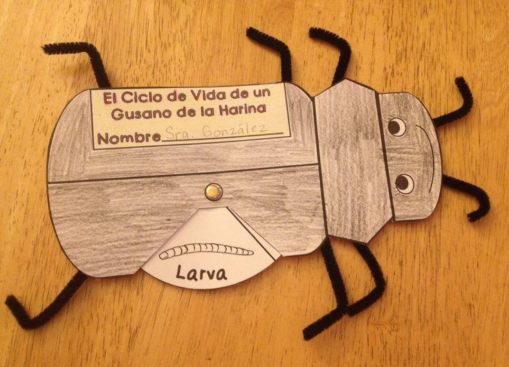 mealworm darkling beetle life cycle wheel craftivity bilingual cute life cycles bar. Black Bedroom Furniture Sets. Home Design Ideas