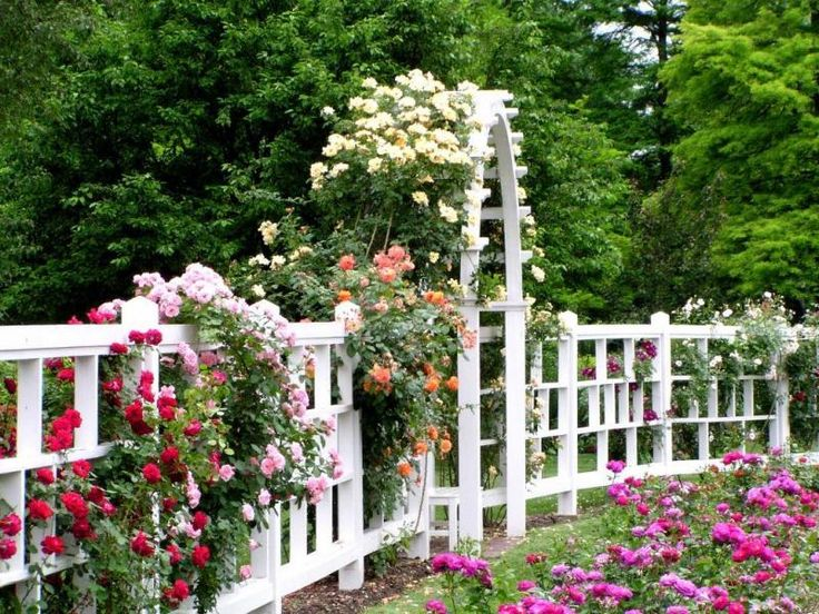 Multi colored roses on white fence outdoors to enjoy